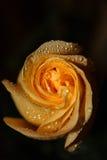 Wassertropfen auf einer gelben Rose Lizenzfreies Stockbild