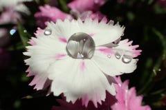 Wassertropfen auf einer Sidalceablume stockfotografie