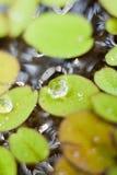 Wassertropfen auf Entengrütze Stockfotos