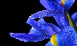 Wassertropfen auf Frühlingsirisblume Stockfoto