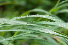 Wassertropfen auf frischen grünen Blättern Lizenzfreie Stockfotos