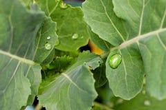 Wassertropfen auf frischen grünen Blättern Stockfotografie