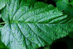 Wassertropfen auf frischen grünen Blättern Lizenzfreie Stockbilder
