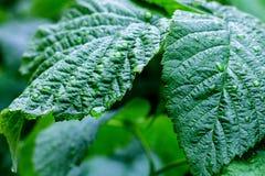 Wassertropfen auf frischen grünen Blättern Stockfoto