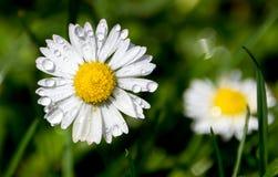 Wassertropfen auf Gänseblümchenblume Stockfotos