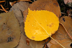 Wassertropfen auf gelbem Espenblatt Stockfotografie