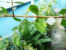 Wassertropfen auf Grünblättern auf Stiel lizenzfreies stockbild