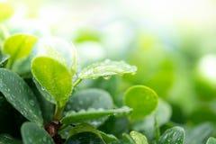 Wassertropfen auf grünem Blatt für Natur und Frischehintergrund stockfotografie