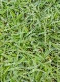 Wassertropfen auf grünem Gras Stockbild
