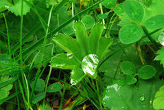 Wassertropfen auf grünen Blättern Lizenzfreie Stockfotografie