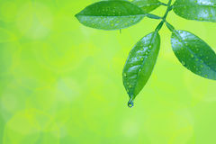 Wassertropfen auf grünen Blättern Stockbild