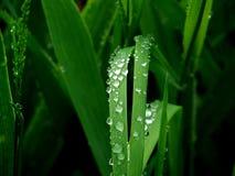 Wassertropfen auf grünen Blättern Lizenzfreie Stockbilder