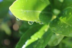 Wassertropfen auf grünen Blättern stockbilder