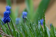 Wassertropfen auf grünen Blättern, blaue Blumen lizenzfreie stockfotos