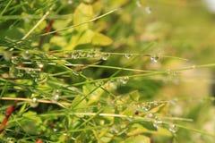 Wassertropfen auf Grashalmen Stockfoto