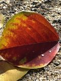 Wassertropfen auf Herbstlaub stockbild