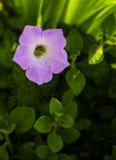 Wassertropfen auf rosa Petunie Stockfotos