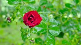 Wassertropfen auf rosafarbenen Blumenblättern, Nahaufnahme Stockfotografie