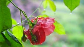 Wassertropfen auf rosafarbenen Blumenblättern, Nahaufnahme Lizenzfreies Stockbild