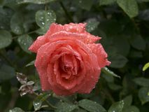 Wassertropfen auf Rosen Stockfoto