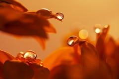 Wassertropfen auf rotem Blumenblumenblatt Makrotropfen Lizenzfreie Stockfotos