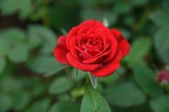 Wassertropfen auf roten Rosen Stockfotos