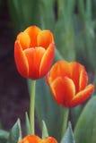 Wassertropfen auf roten Tulpen Stockfotografie