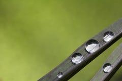 Wassertropfen auf schwarzem Reisblatt Stockbilder