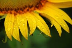 Wassertropfen auf Sonnenblume Lizenzfreies Stockfoto