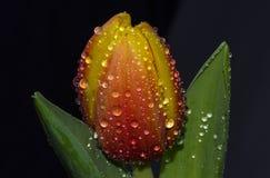 Wassertropfen auf Tulpe Stockfoto