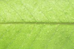 Wassertropfen auf weißem champaca Blatt Stockfoto