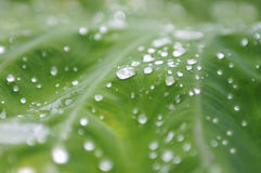 Wassertropfen des grünen Blattes Stockfotos