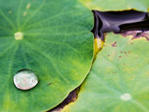Wassertropfen, Lotosblatt Lizenzfreies Stockfoto
