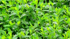 Wassertropfen nach einem Regen auf grünem Blattknotengras stock video footage