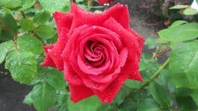 Wassertropfenerschütterung auf einer roten Rose Stockfotografie
