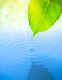 Wassertropfenfall vom grünen Blatt mit Kräuselung Lizenzfreie Stockfotos