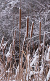 Wassertypha der krautigen Pflanzen mit Schnee Stockbild