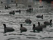 Wasservögel lizenzfreie stockfotos