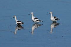 Wasservögel (große Brachvögel) im Gezeiten- Land Stockbild