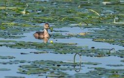 Wasservögel - piti Lizenzfreie Stockbilder