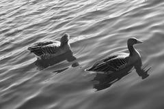Wasservogel甘斯,排沃热尔Schwan,背景黑白色 免版税图库摄影