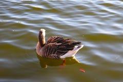 Wasservogel甘斯,排沃热尔Schwan,背景黑白色 库存照片