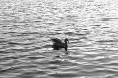 Wasservogel甘斯,排沃热尔Schwan,背景黑白色 免版税库存图片