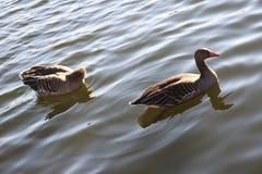 Wasservogel甘斯,排沃热尔Schwan,背景 免版税图库摄影