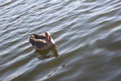 Wasservogel甘斯,排沃热尔Schwan,背景 免版税库存图片
