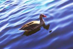 Wasservogel甘斯,排沃热尔Schwan,背景 库存照片