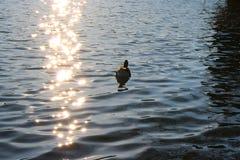 Wasservogel甘斯,排沃热尔Schwan,背景 库存图片