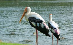 Wasservogel des Flamingos Lizenzfreie Stockfotos
