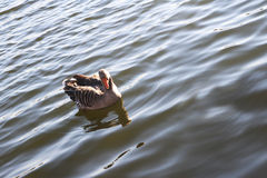 Wasservogel Gans, σειρά Vogel Schwan, υπόβαθρο Στοκ Εικόνες