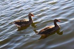 Wasservogel Gans, ярус Vogel Schwan, предпосылка Стоковые Изображения